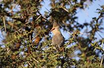 bluenaped-mouse-bird-anjasmall