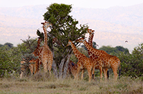 giraffe-browsing-anjasmall